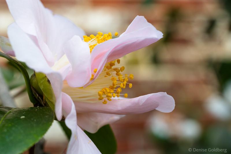camellia reaching