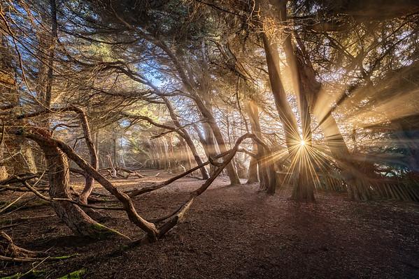 Sea Ranch - Cypress Hedgerows