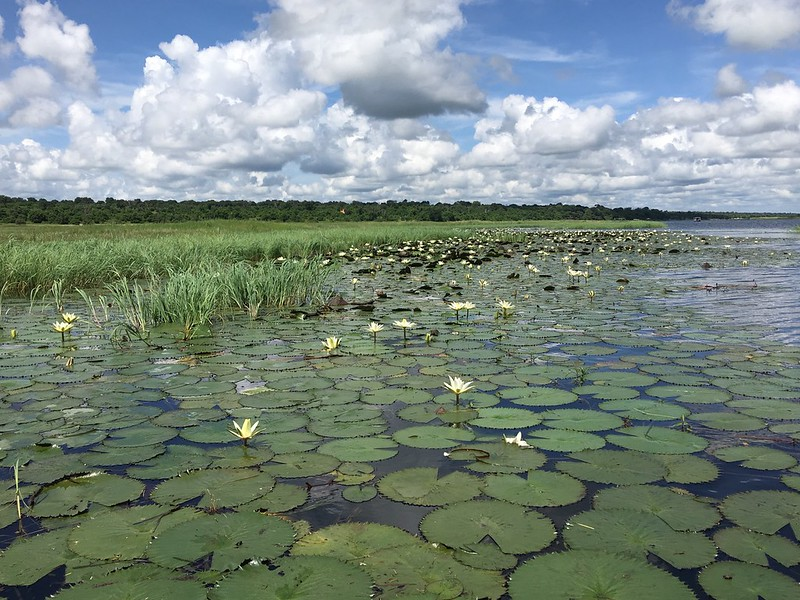 Water lilies in the Chobe River - Rob Williamson