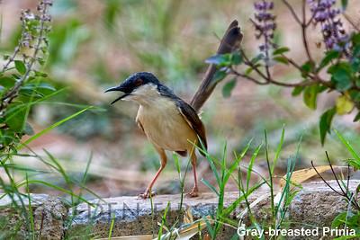 Gray-breasted Prinia, Todoba, India