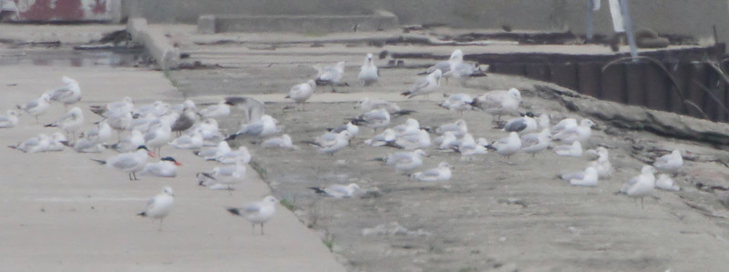 2011-04-22 Odd Gulls