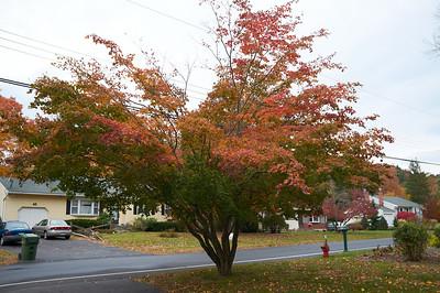Japanese Maple_Oct. 2012