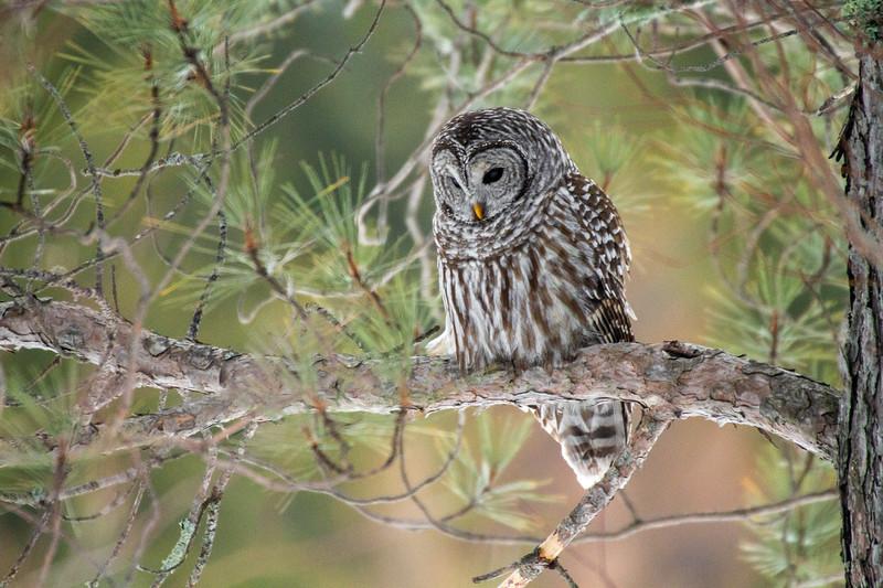 Barred Owl hunting Yellow-bellied Bog Peary Road Sax-Zim Bog MN IMG_0235.jpg