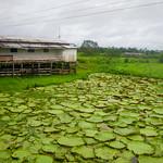 Giant Amazon water lily, Victoria Amazonica, Brazil