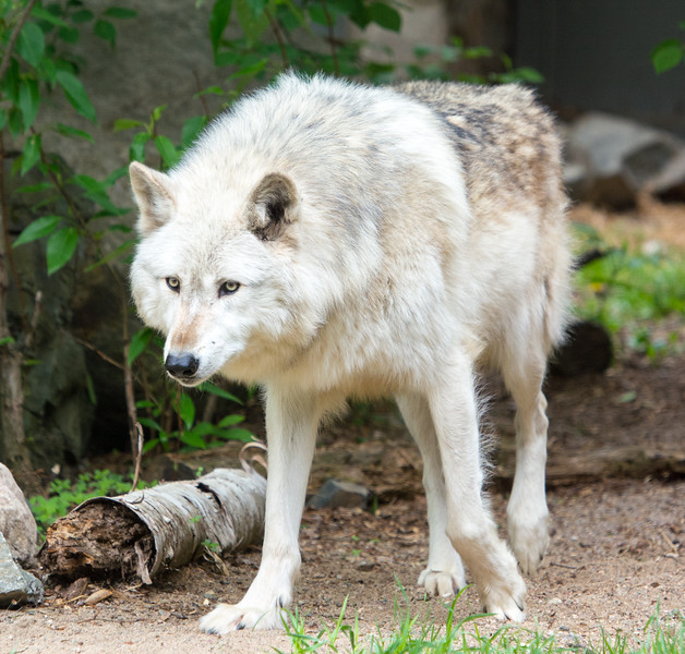 2016 Wolf Institute - Ely, MN-21.jpg