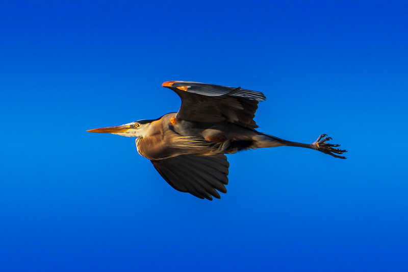 3.16.19 - Blackburn Creek Fish Hatchery: Great Blue Heron