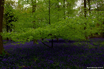 Bluebells in the Forest Of Dean