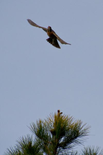 Backyard_Birds-Mar2012-36.jpg