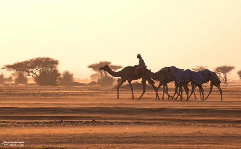 camels (1).jpg