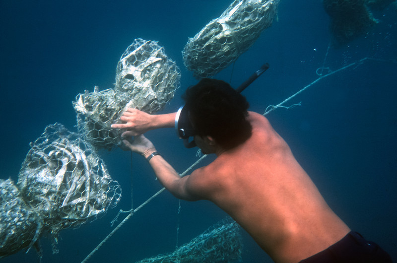 This is how South Pacific Black Pearls are created. These divers are cleaning the oyster beds, to protect them, so they will grow and produce magnificent pearls.