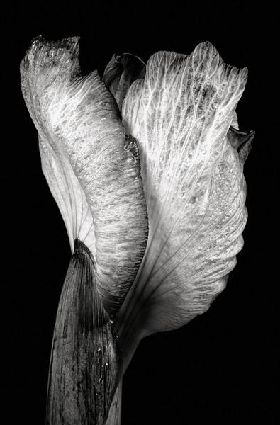 japanese-iris-07.jpg