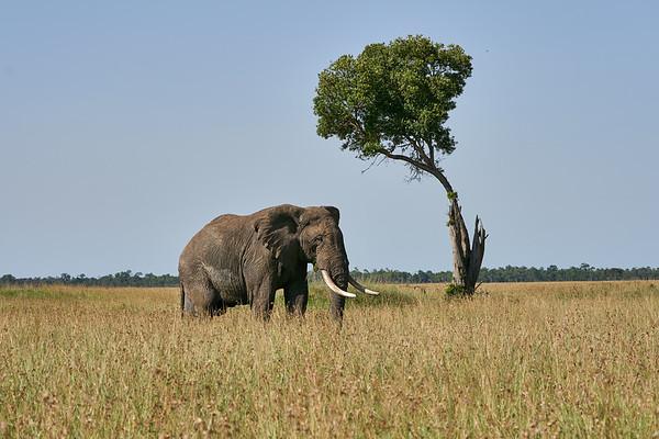 Mara Elephant Postcard Mara Kenya 2018
