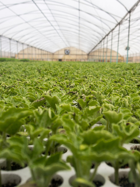 calemone greenhouse.jpg