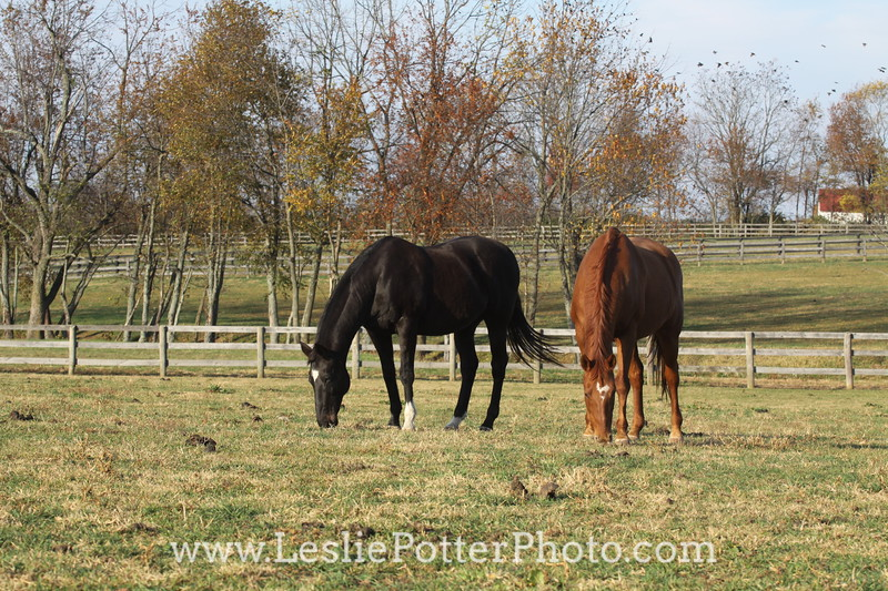 Two Horses Grazing in the Pasture in Autumn