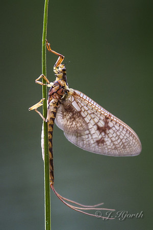 Insekter - Insects - (Insecta)