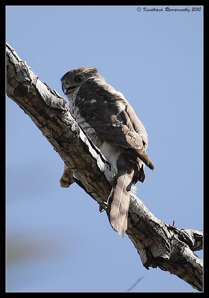 Cooper's Hawk, Guajome Regional Park, San Diego County, California, February 2010