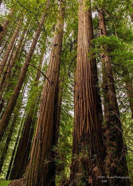 Founders Grove Redwoods 3842 HDR.jpg