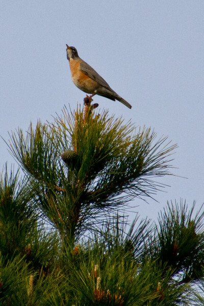 Backyard_Birds-Mar2012-35.jpg