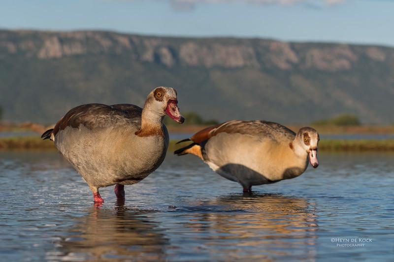 Egyptian Goose, Zimanga, South Africa, May 2017-12.jpg