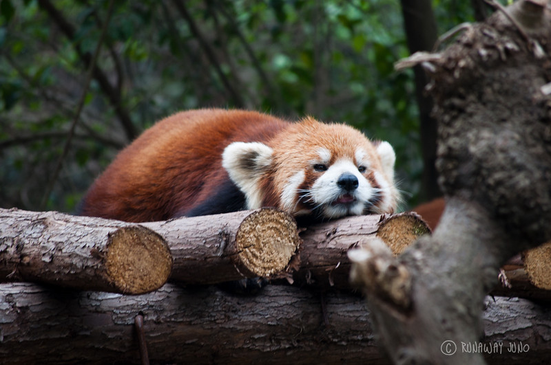 Red_Panda_Sleeping_Chengdu_Sichuan_China.jpg