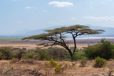 Acacia, Flat Top