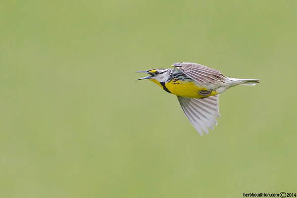Eastern Meadowlarks