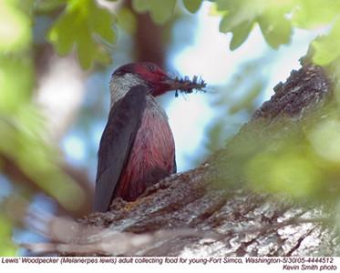 Lewis'WoodpeckerA44512.jpg