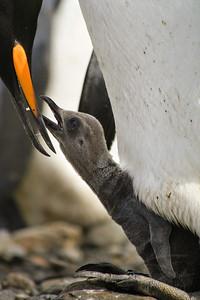 King Penguin feeding its chick. Fortuna Bay, South Georgia Island.