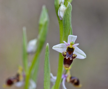 Small Woodcock Orchid (Ophrys picta)