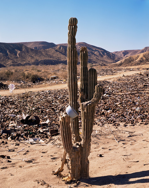 Baja California Sur,, MEX/Desert dumping near Santa Rosalia Lone cardon cactus (Pachycereus pringlei) amid garbage. 290h                           aaa