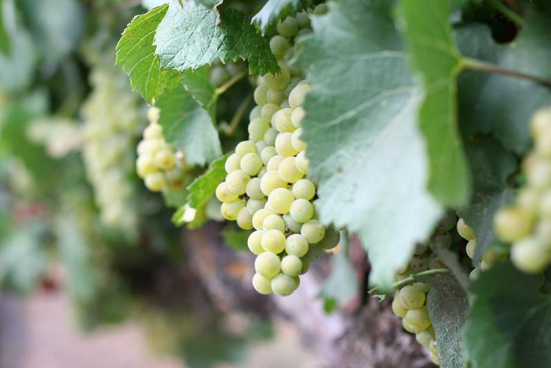 Chardonnay1.JPG