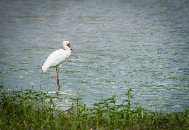 African Spoonbill, Selous Reserve