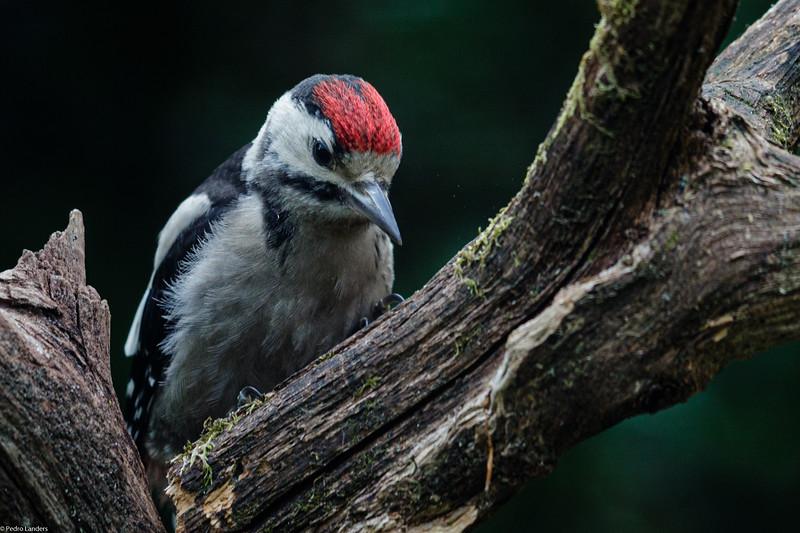 Woodpecker #2