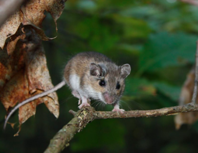 whitefooted-mouse-is-to-blame-for-the-spread-of-lyme-disease