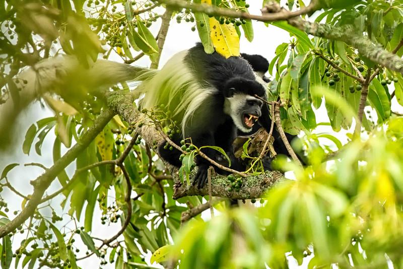 Black & White Colobus: Arusha NP Tz