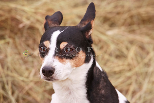 Rat Terrier_CB