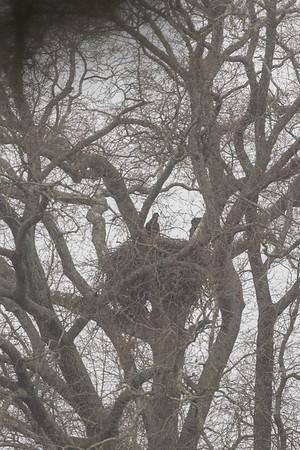 20190303-CCC Eagle nest and birds