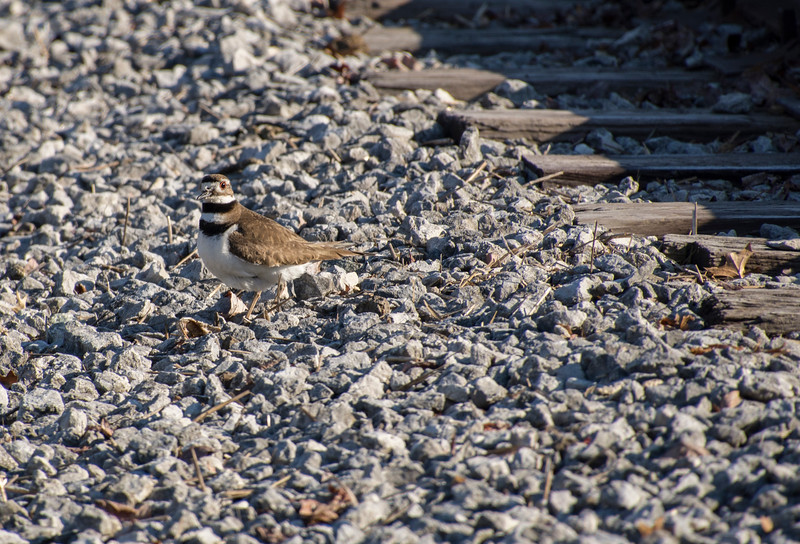 Killdeer-nesttorigthbutunseen-railroad-tracks-Canton.jpg