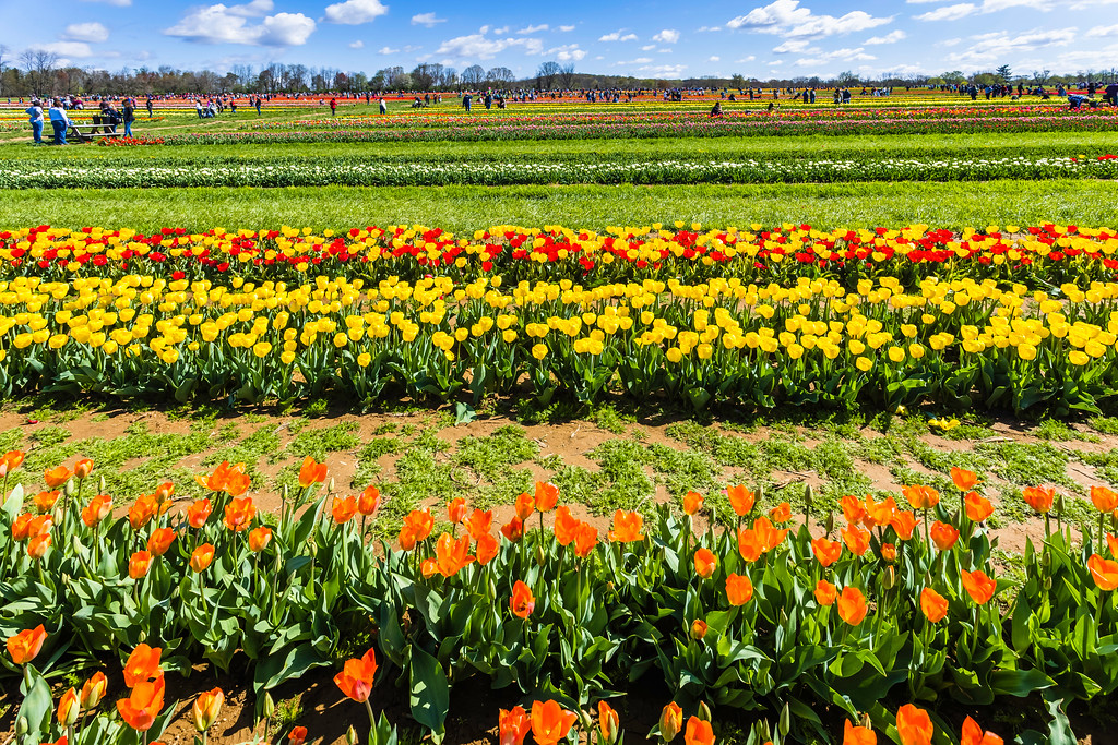 荷兰岭农场(Holland Ridge Farms, NJ),怒放的郁金香