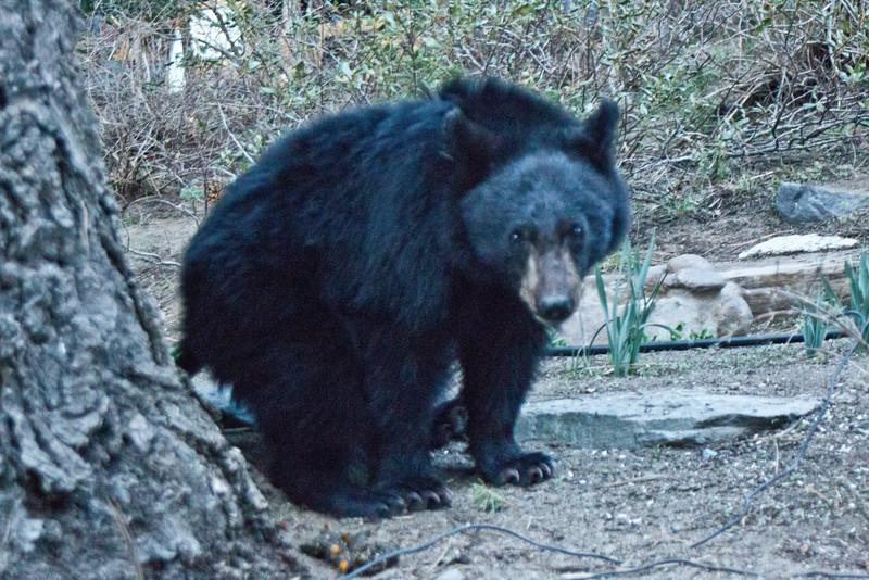 Black Bear  Mammoth Lakes 2013 04 26 (5 of 6).CR2