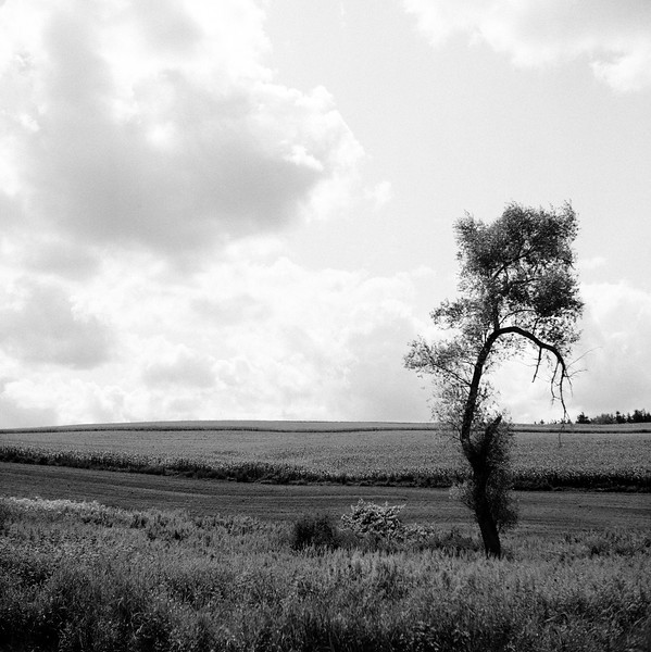 Lone Tree, near Morrisville, NY. August 2009