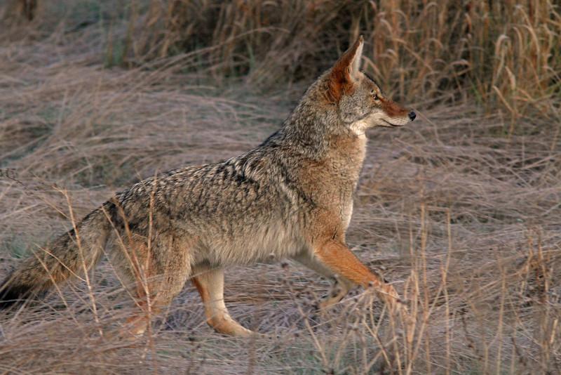 CoyotecloseupA1600.jpg