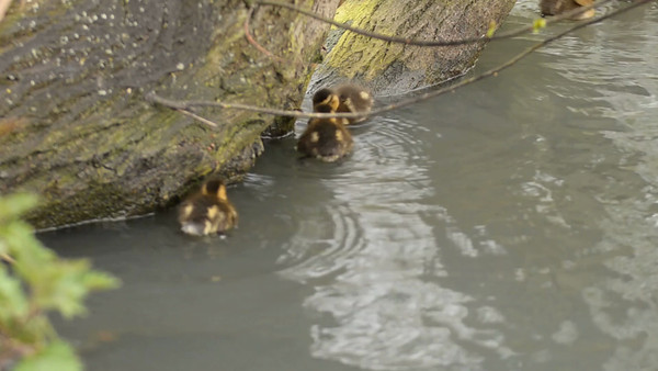 Spring Ducklings