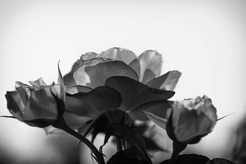 Balboa Park Rose Garden-0859.jpg