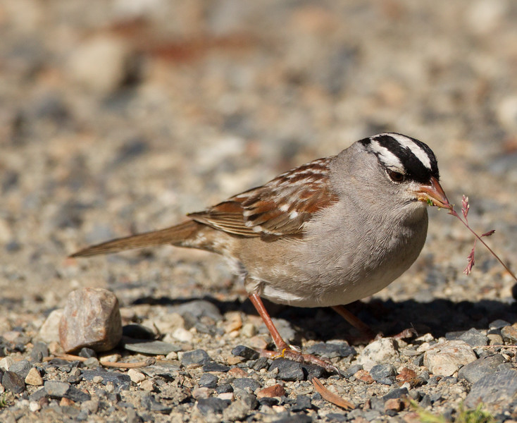 White-crowned Sparrow (Oriantha)  Mammoth Lakes 2015 05 27-1.CR2