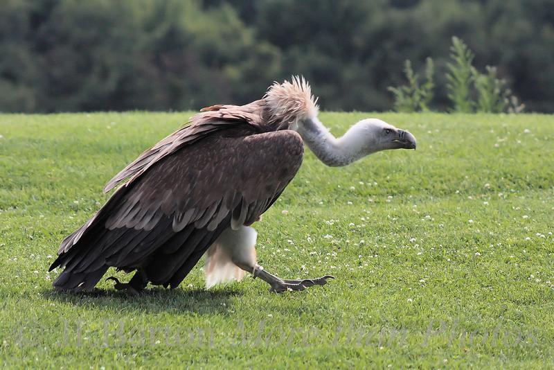 Griffon Vulture Walking