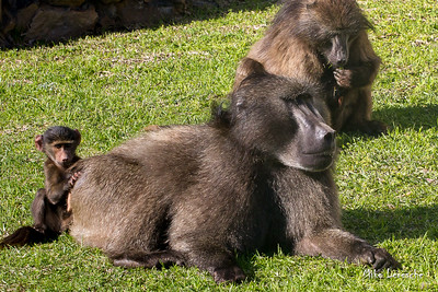 Baboons of Rooiels