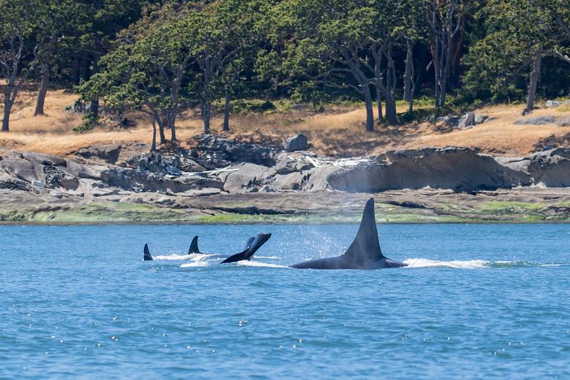 Orcas -  073115-045.jpg