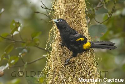 Mountain Cacique, Ecuador