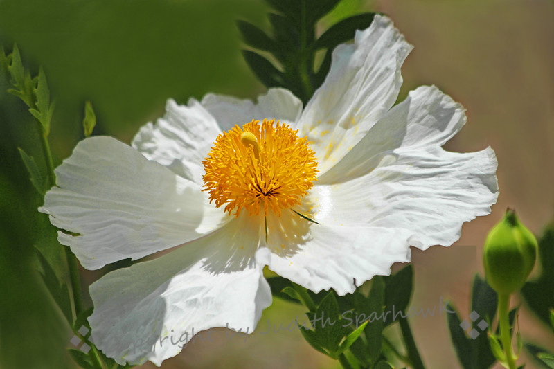 Matilija Poppy ~ In the garden I visited yesterday, there was a large bed of these beautiful poppies.  Although a native California wildflower, they looked very at home in a cultivated garden.
